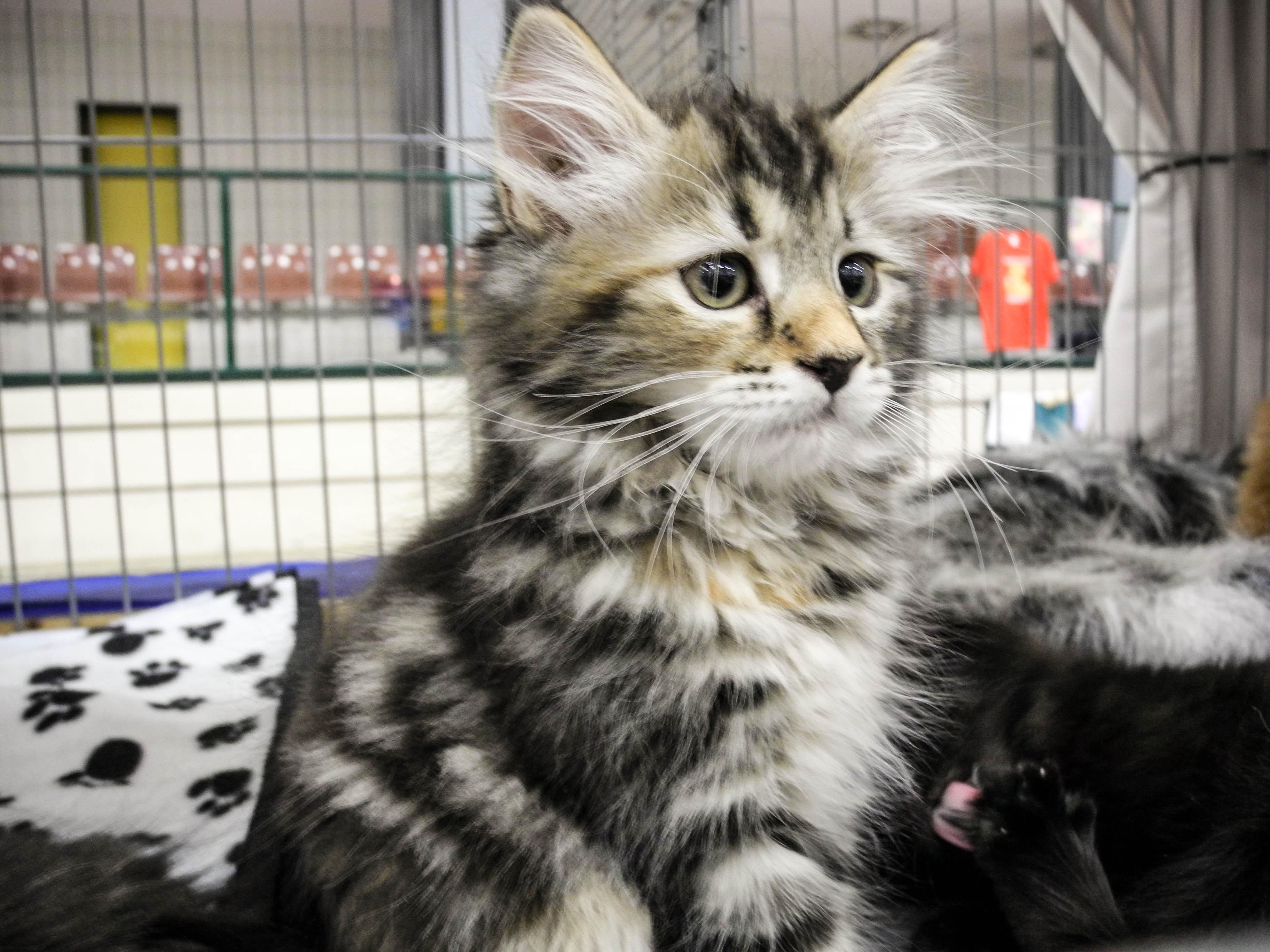 A-Wurf zur Katzenausstellung
