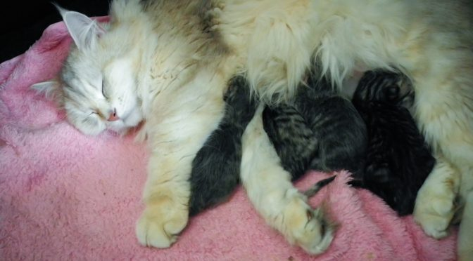 Noch mehr Babys bei Mesarthim's Sibirischen Katzen
