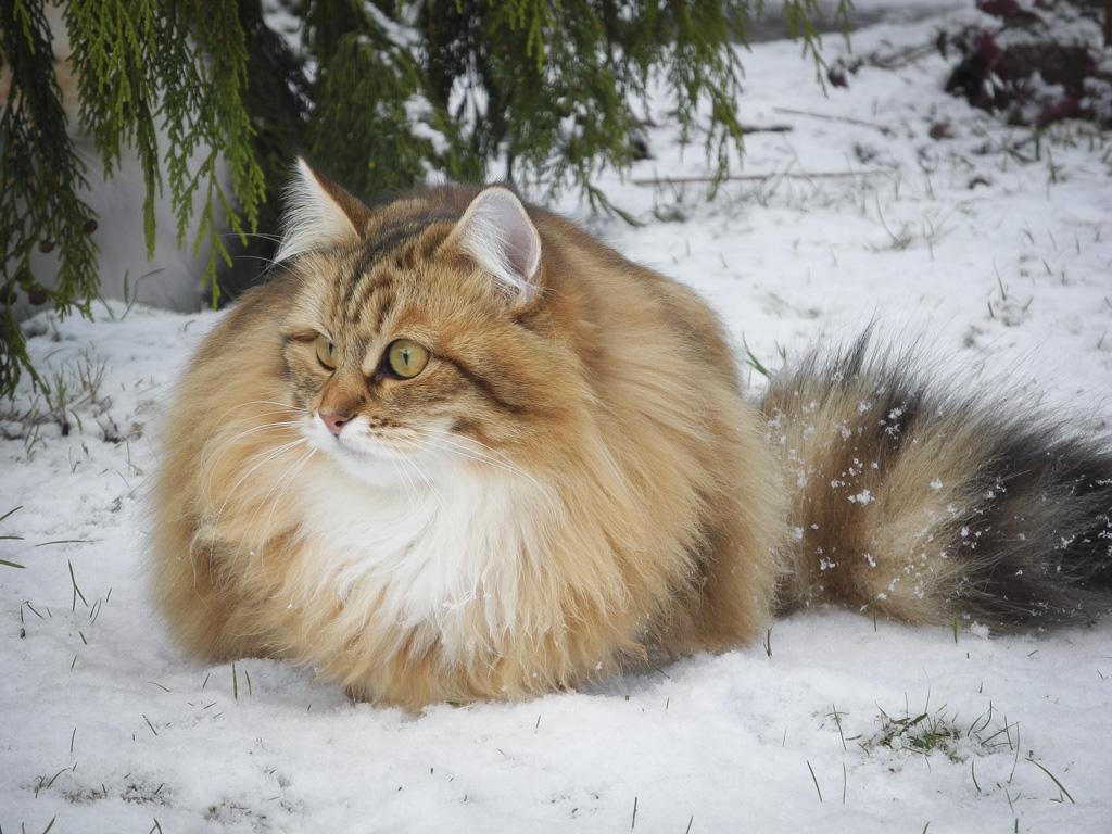 Ginger mit Winterfell