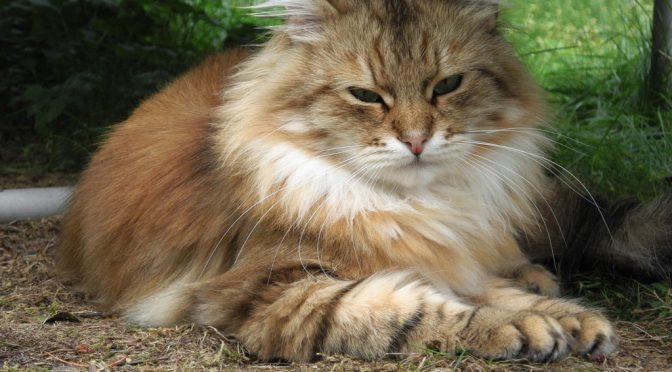 Auf der Katzenausstellung am 1. Oktober in Mellensee/Zossen