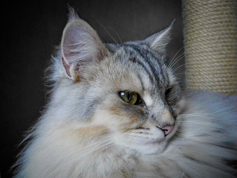 Neue Zuchtkatzen: 1. Biki