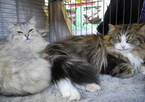 Biki (l.) und Felix (r.) in Paaren auf der Katzenausstellung