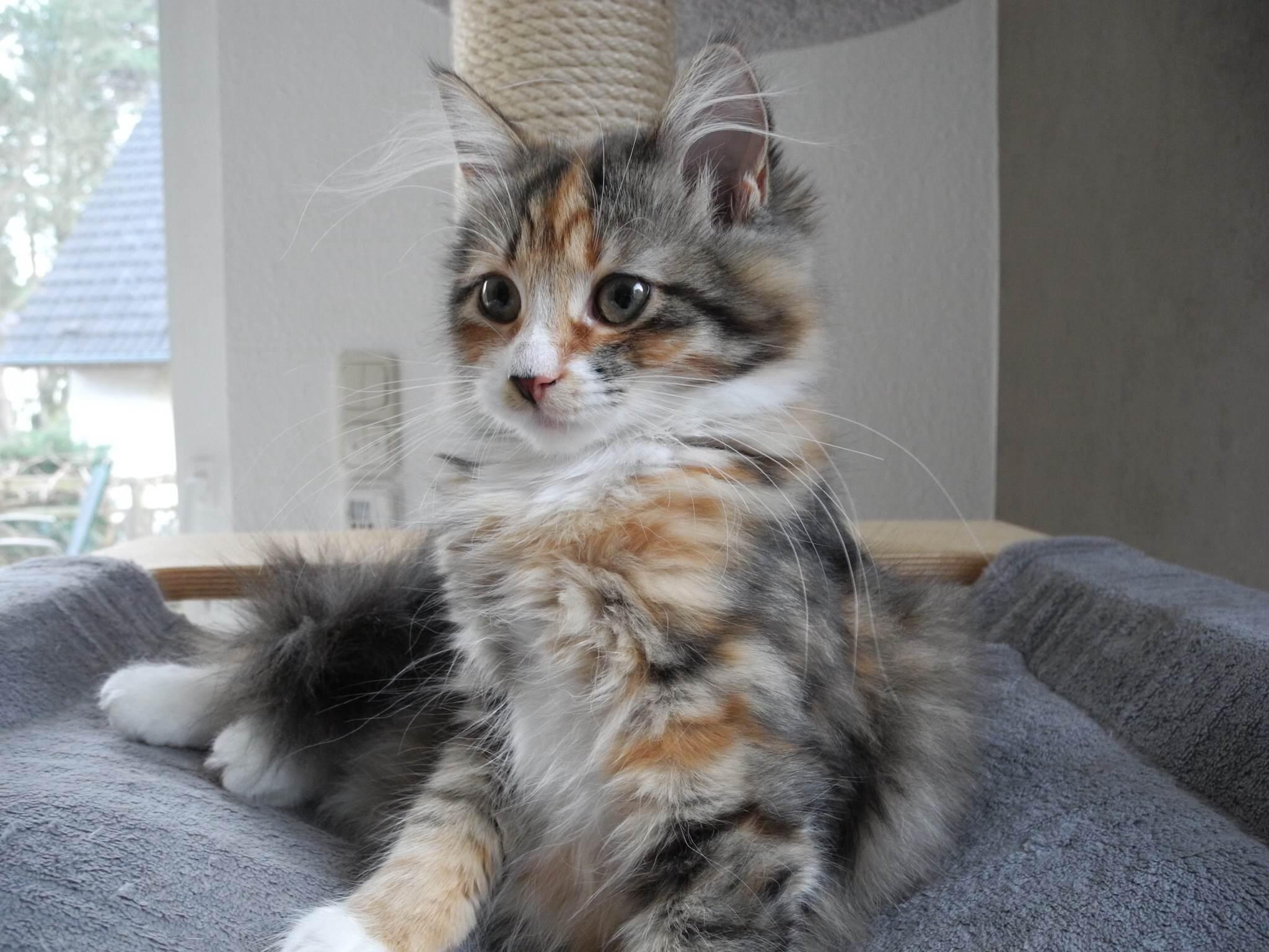 Neue Zuchtkatzen: 2. Zora
