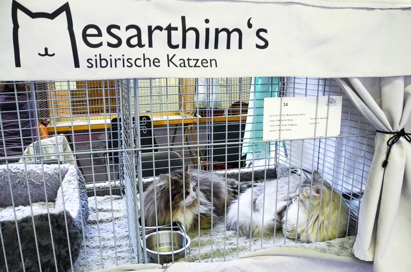 Katzenausstellung in Paaren-Glien am 1. März 2014